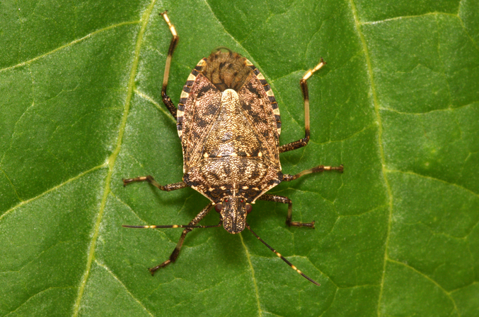 Fall Pest Guide: Stink Bugs (Part 3)