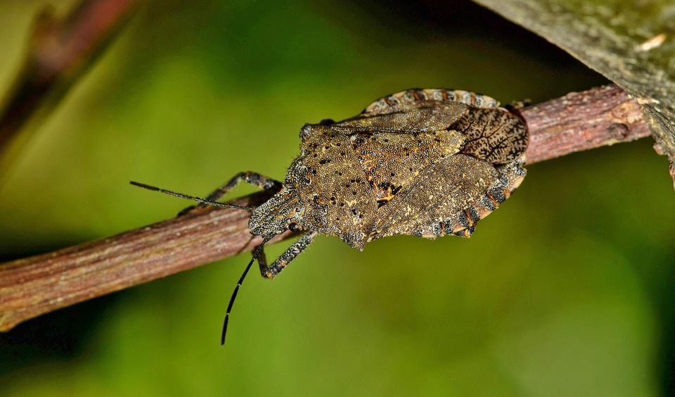 The Stink is On – Stink bugs in Indiana